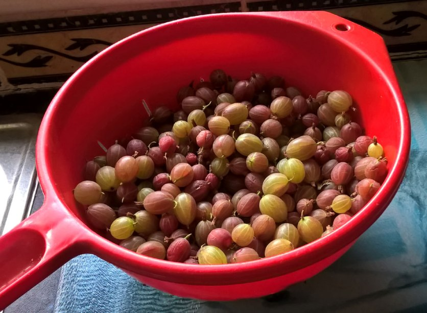 Gooseberries picked